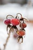 Замороженные одичалые плоды шиповника Стоковое фото RF