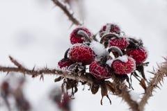 Замороженные одичалые плоды шиповника Стоковые Фотографии RF