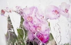 Замороженные розовые орхидеи 2 Стоковое Изображение RF