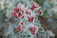 замороженные розы Стоковое фото RF