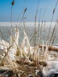 Замороженные тростники в зиме стоковые изображения rf
