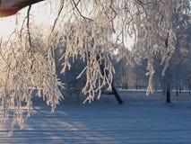Замороженные хворостины березы Стоковая Фотография