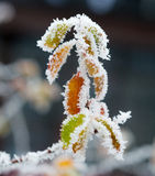 Замороженные хворостины и листья Стоковые Фото