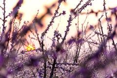 замороженные цветки Защита Розовый Восход солнца Утро стоковые фотографии rf