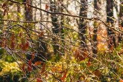 Замороженные чуть-чуть ветви дуба Стоковое Изображение