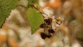 Замороженные ягоды на ветвях поленик видеоматериал