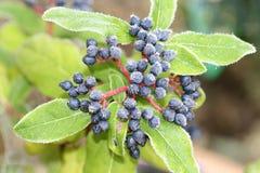 замороженные ягоды Стоковое Изображение