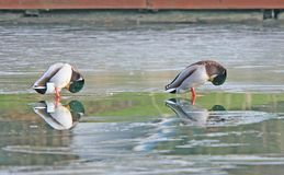 замороженные mallards 2 озера Стоковое Изображение RF