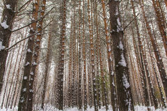Замороженный лес Стоковая Фотография RF