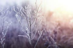 Замороженный завод в зиме Стоковая Фотография