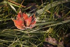 замороженный клен листьев Стоковая Фотография RF