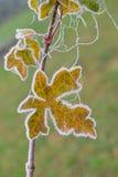 замороженный клен листьев Стоковые Изображения