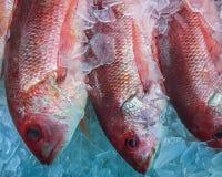 Замороженный красный люциан Стоковое Фото
