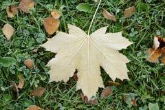 Замороженный кленовый лист на траве Стоковое Фото