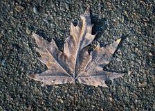 замороженный клен листьев Стоковые Фотографии RF