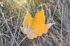 замороженный клен листьев Стоковое Фото