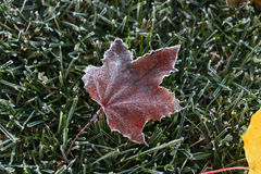 замороженный клен листьев Стоковое Изображение RF