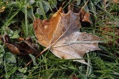 замороженный осенью клен листьев Стоковое Изображение