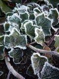 Замороженный плющ Стоковое Фото