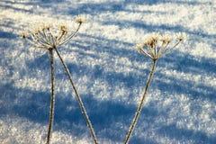 Замороженный сухой завод в снеге стоковые изображения