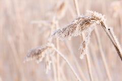 Замороженный тростник Стоковая Фотография RF