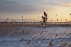 замороженный тростник Стоковое Фото
