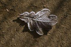 замороженный дуб листьев Стоковые Изображения RF