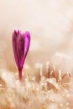 Замороженный цветок крокуса в цветке весны заморозка в природе с нежностью Стоковые Фотографии RF