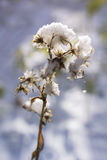 Замороженный цветок под снегом Стоковые Изображения
