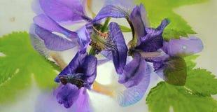Замороженный цветок радужки Стоковая Фотография