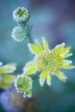 Замороженный цветок Стоковое Изображение RF
