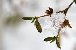 замороженный hydrangea kyushu Стоковое Фото