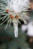 Замороженный sprig Стоковые Изображения RF