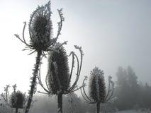 замороженный thistle Стоковые Изображения RF