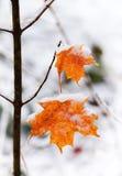 2 замороженных кленового листа на малом дереве Стоковое Фото