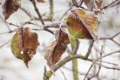3 замороженных листь покрытого с льдом стоковое изображение