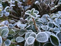 Заморозок утра на изгороди Стоковые Фотографии RF