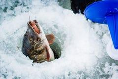 Заморозьте рыболова с большой щукой на льде Стоковая Фотография RF