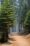 Замотка пути через сосновый лес стоковые фото