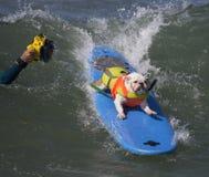 Занимающся серфингом и представляющ бульдога Стоковое Фото