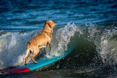 Занимаясь серфингом собака на surfboad на море ехать волны стоковые фото
