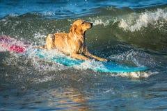 Занимаясь серфингом собака на surfboad на море ехать волны стоковые фотографии rf