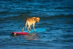 Занимаясь серфингом собака на surfboad на море ехать волны стоковое фото rf