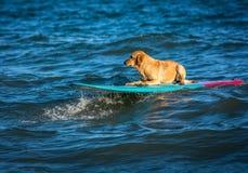 Занимаясь серфингом собака на surfboad на море ехать волны стоковая фотография rf