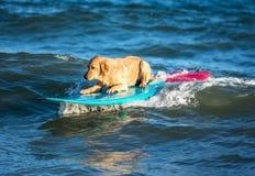 Занимаясь серфингом собака на surfboad на море ехать волны стоковое изображение rf