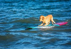 Занимаясь серфингом собака на surfboad на море ехать волны стоковое изображение