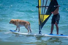 Занимаясь серфингом собака на surfboad на море ехать волны стоковое фото