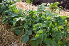 заново засаженные картошки Стоковая Фотография RF