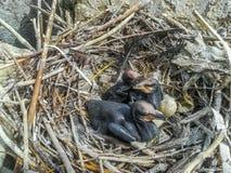 Заново насидел нагие цыпленоки баклана в гнезде стоковые изображения