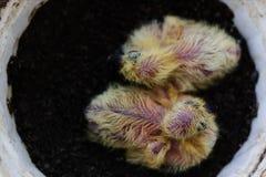 Заново насиженные голуби Стоковое фото RF